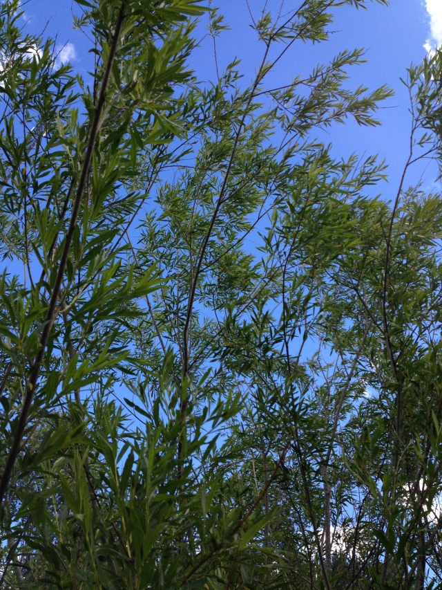 Detta är ett bambuträd, som växer mitt ute i skogen! :o Bambu brukar vanligtvis växa i Kina och Japan, men den här hade setts som skräp, slängts ute i naturen och sedan vuxit till ett stort, vackert träd!