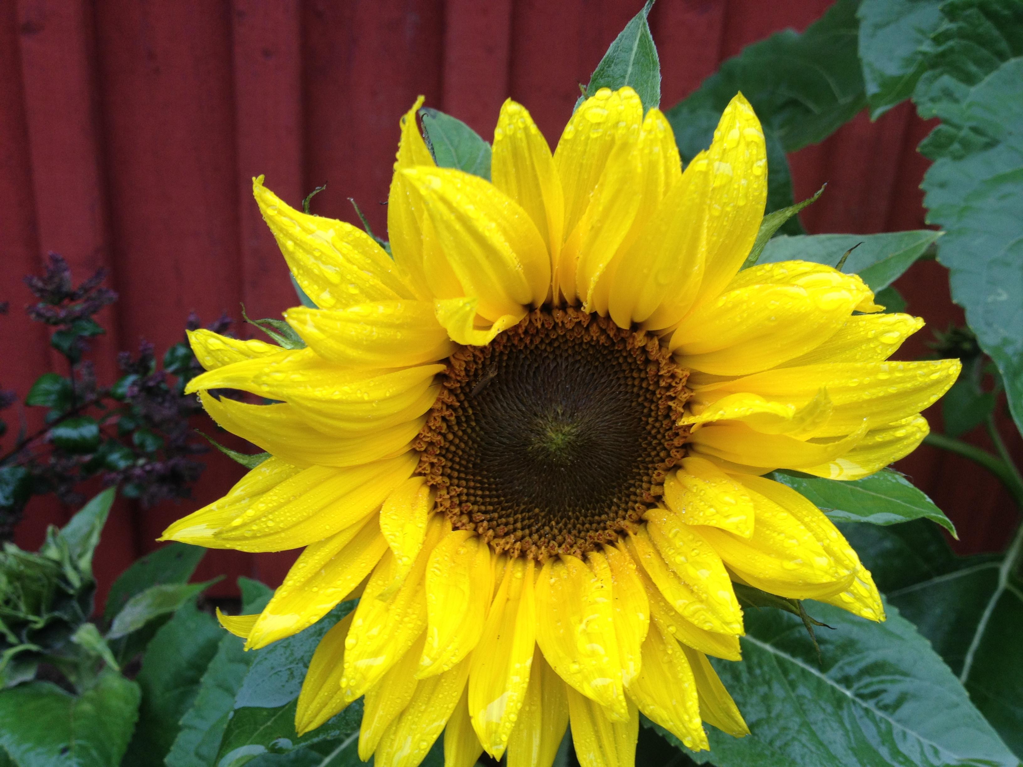 Och trots att löv dansar omkring en när man går, trots att regndroppar faller oftare, och trots att dagarna närmar sig vintern, kvarstår en lysande gul sommarblomma i slutet av september.
