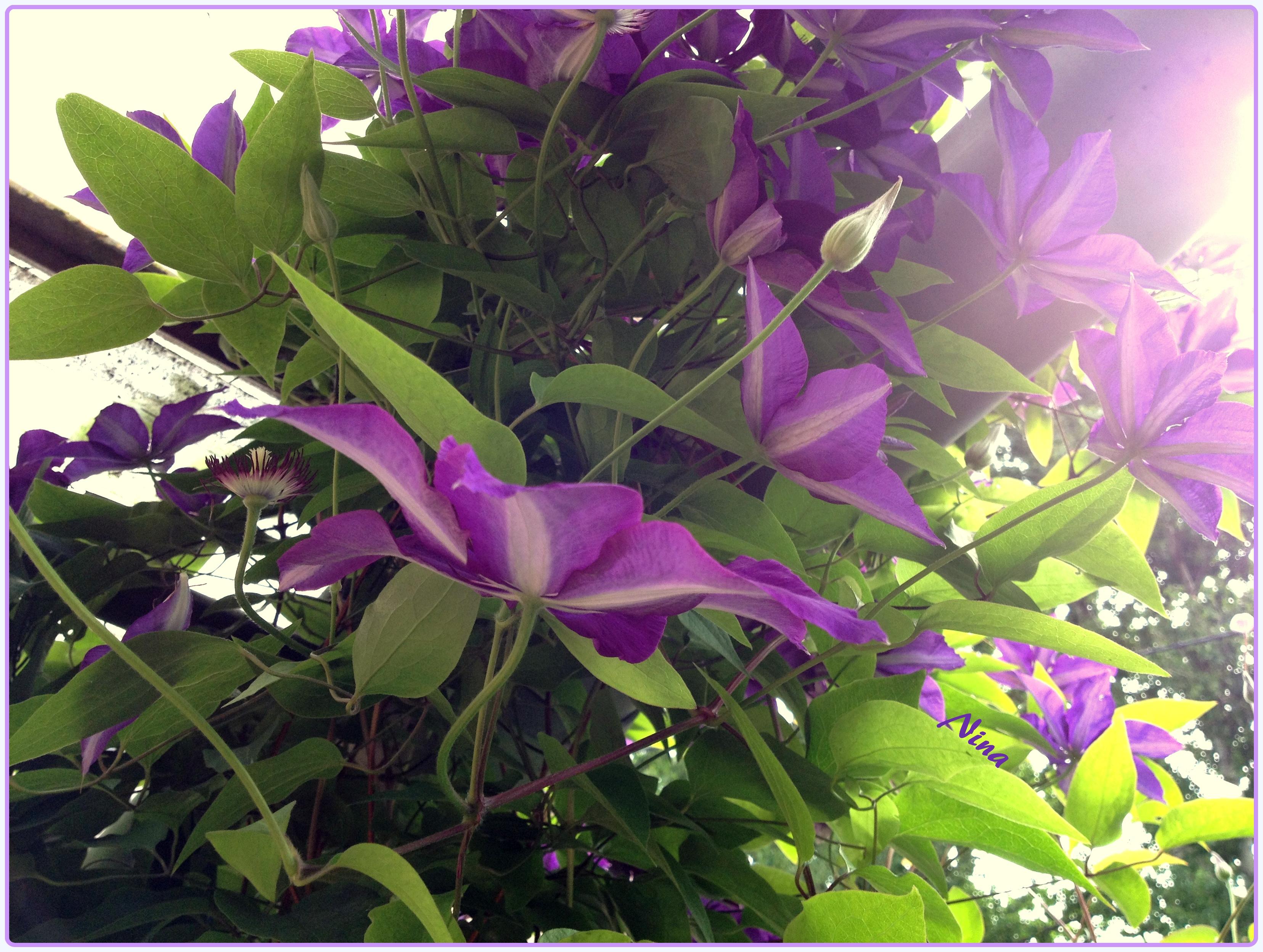 Purple sunlight, bild tagen av mig i somras i en ofattbart blomstrande trädgård på ett litet familjeägt pensionat i Tyskland. Jag tycke det här fotot förmedlar en lugn, varmt grön känsla av vår.