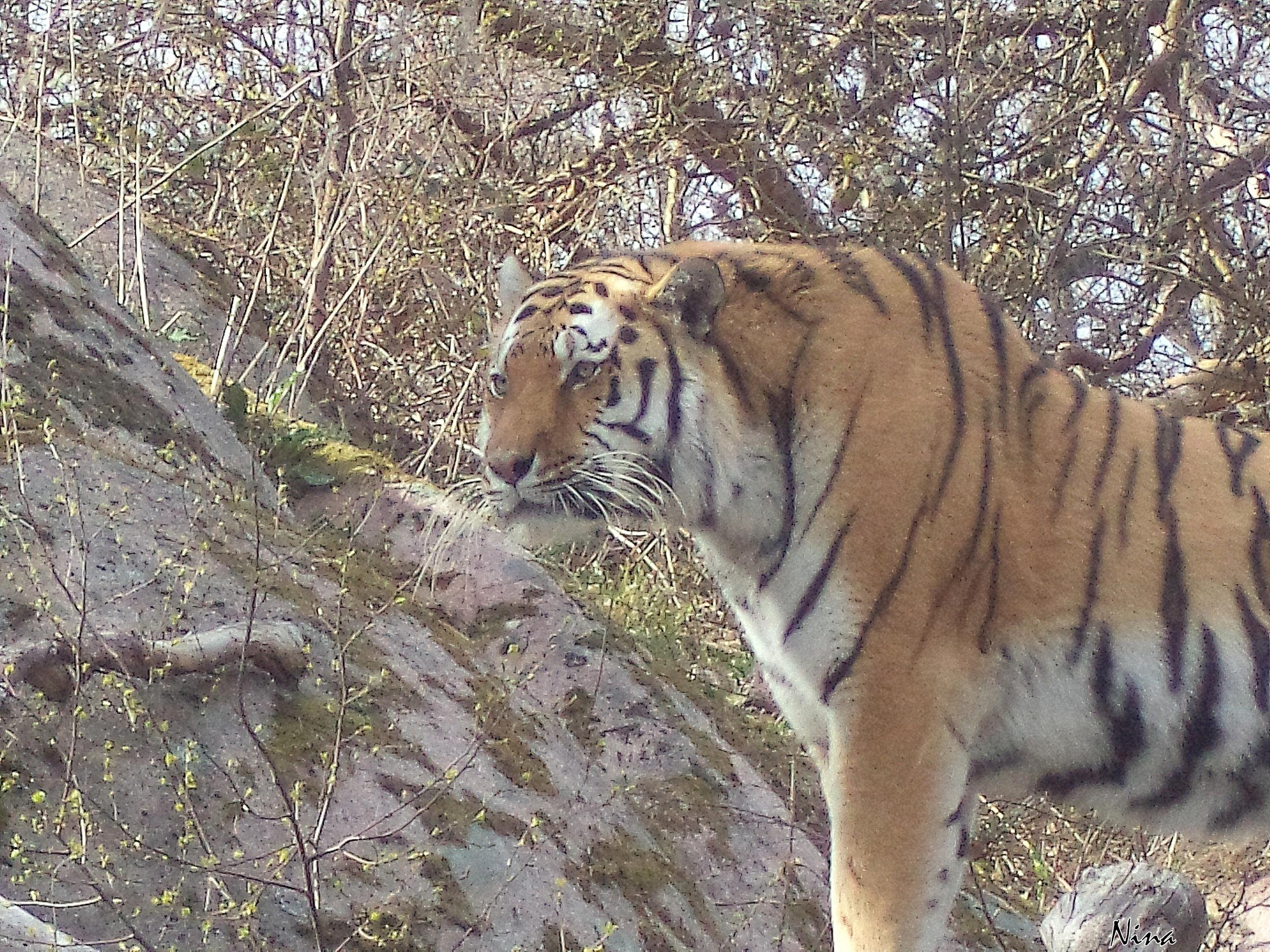 Tigern blickar ut