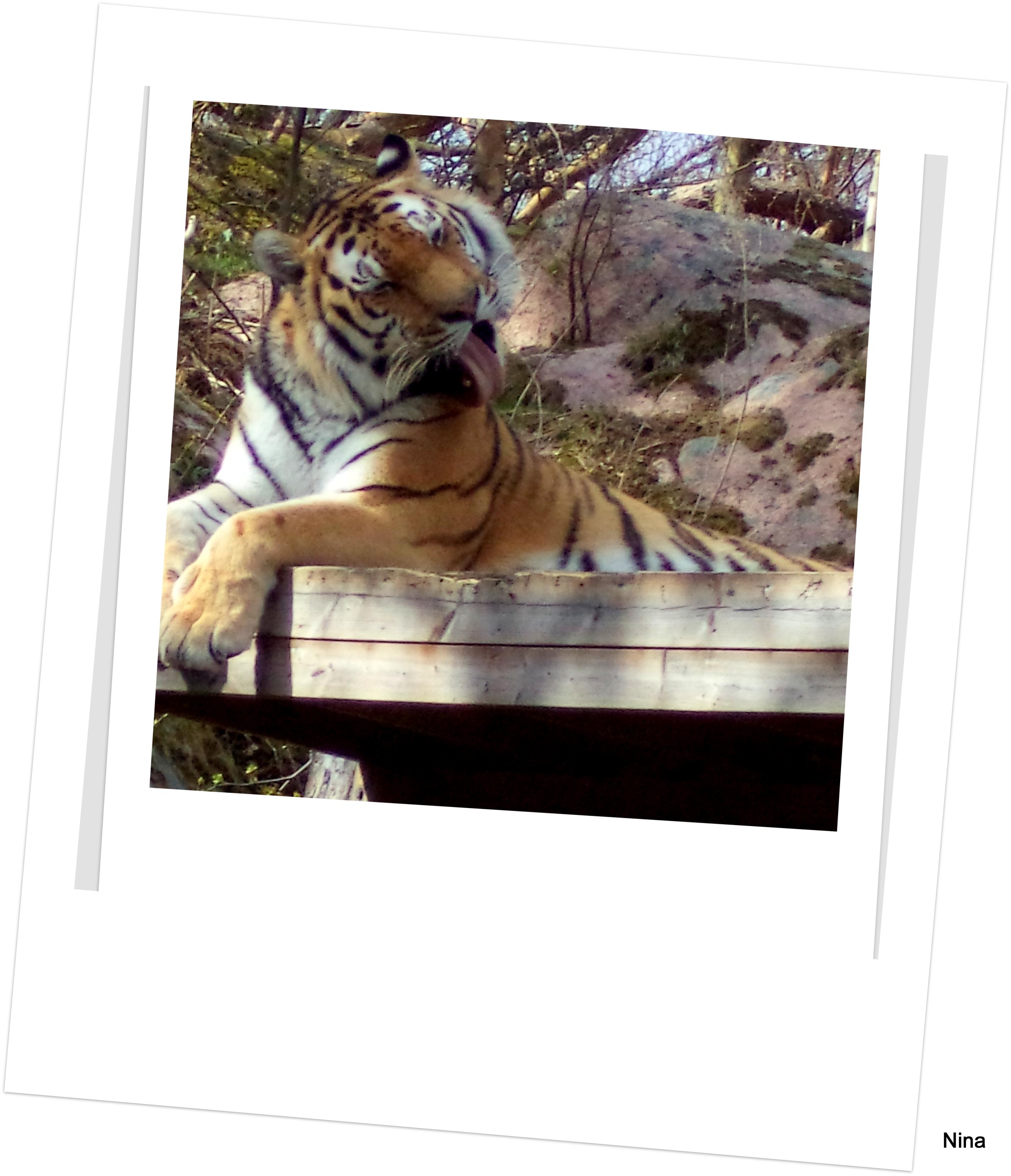 Tigerbild 5