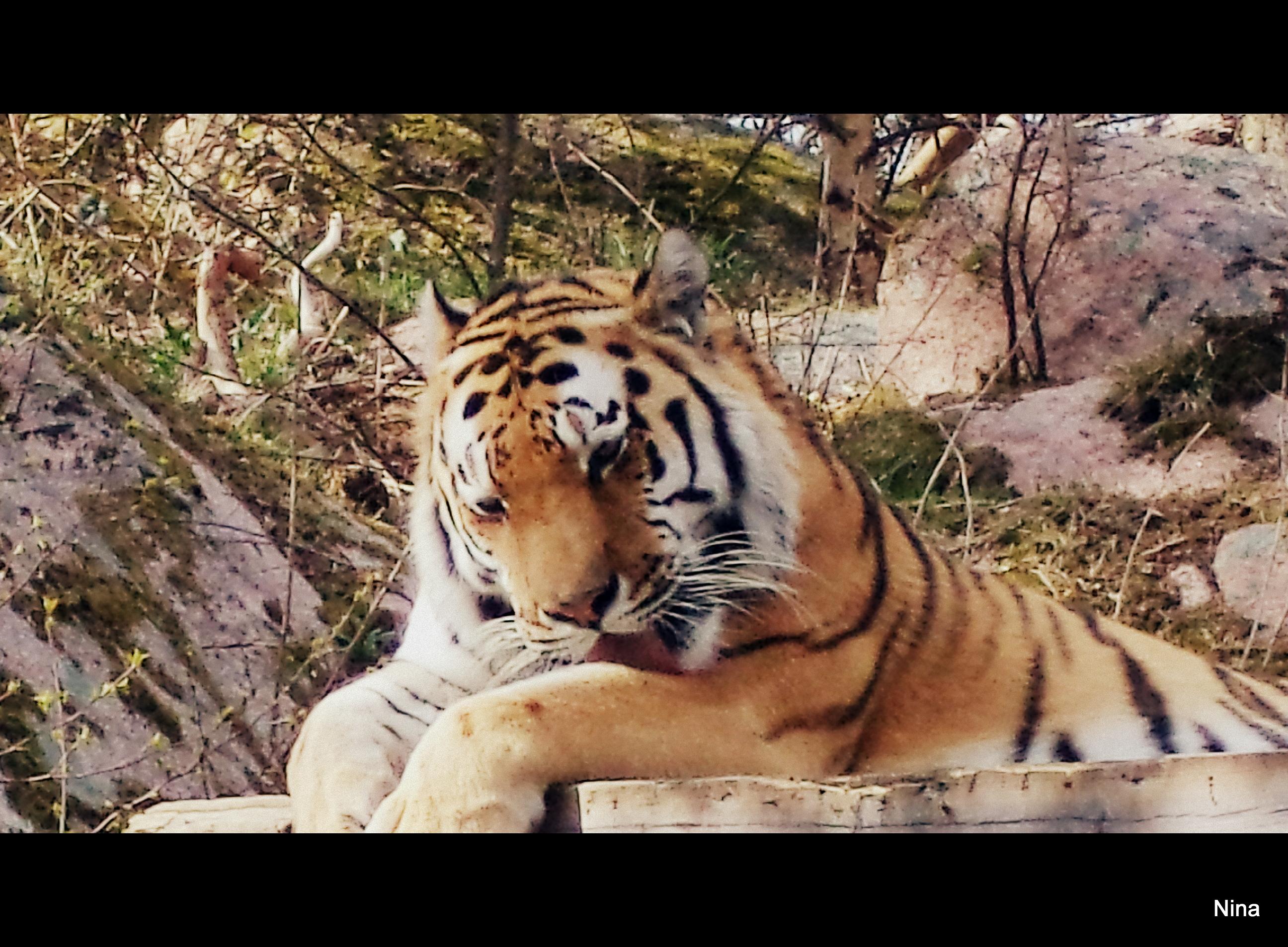 Betraktar tigern