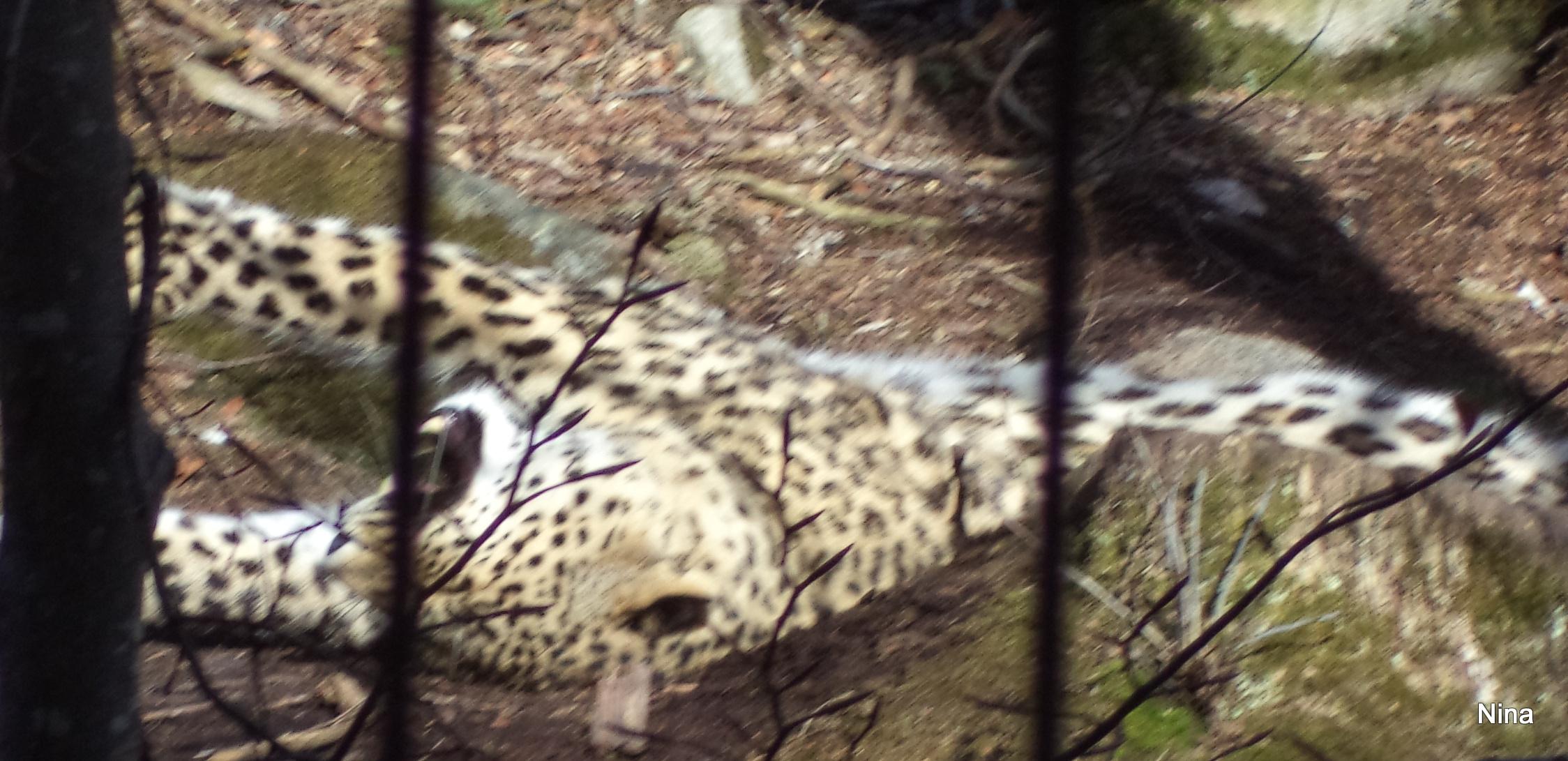 Snöleopard i rörelse