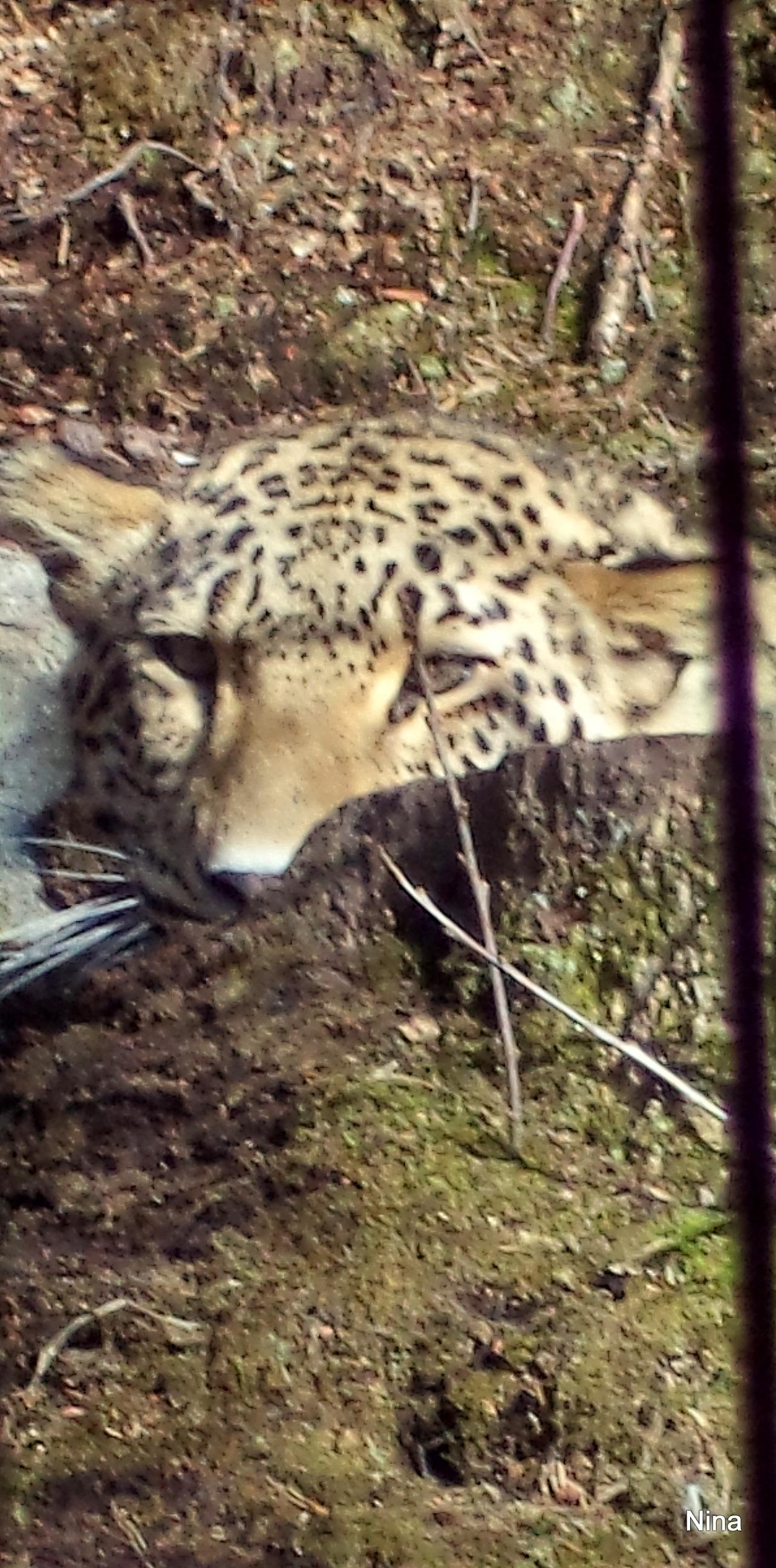 I snöleopardens blick