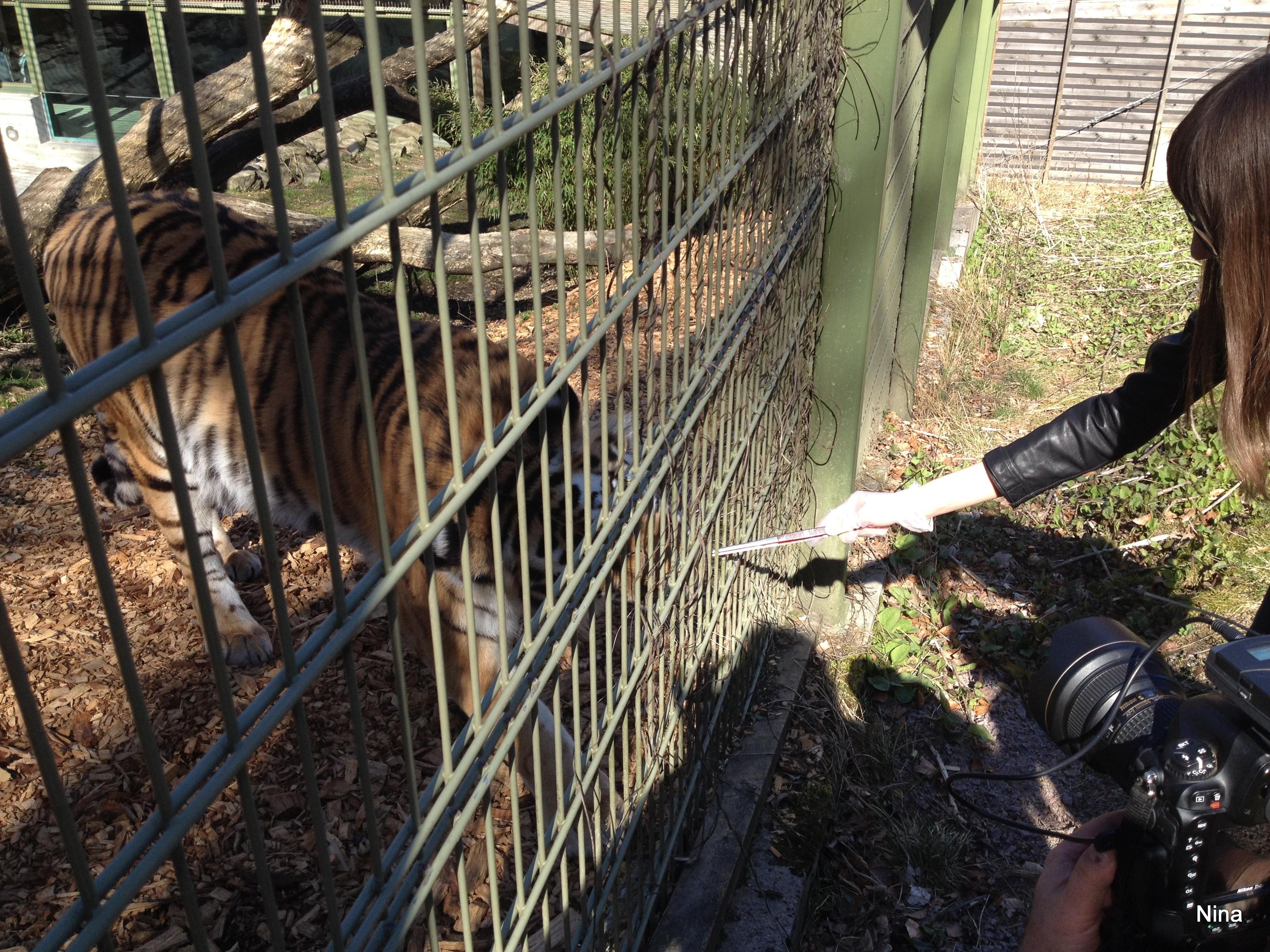 Nina matar tigrar