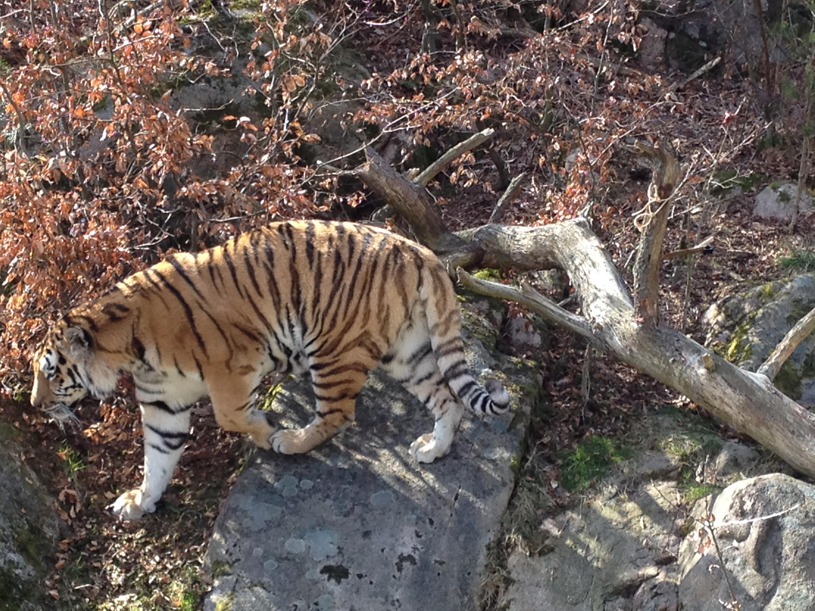 Vandrande tiger