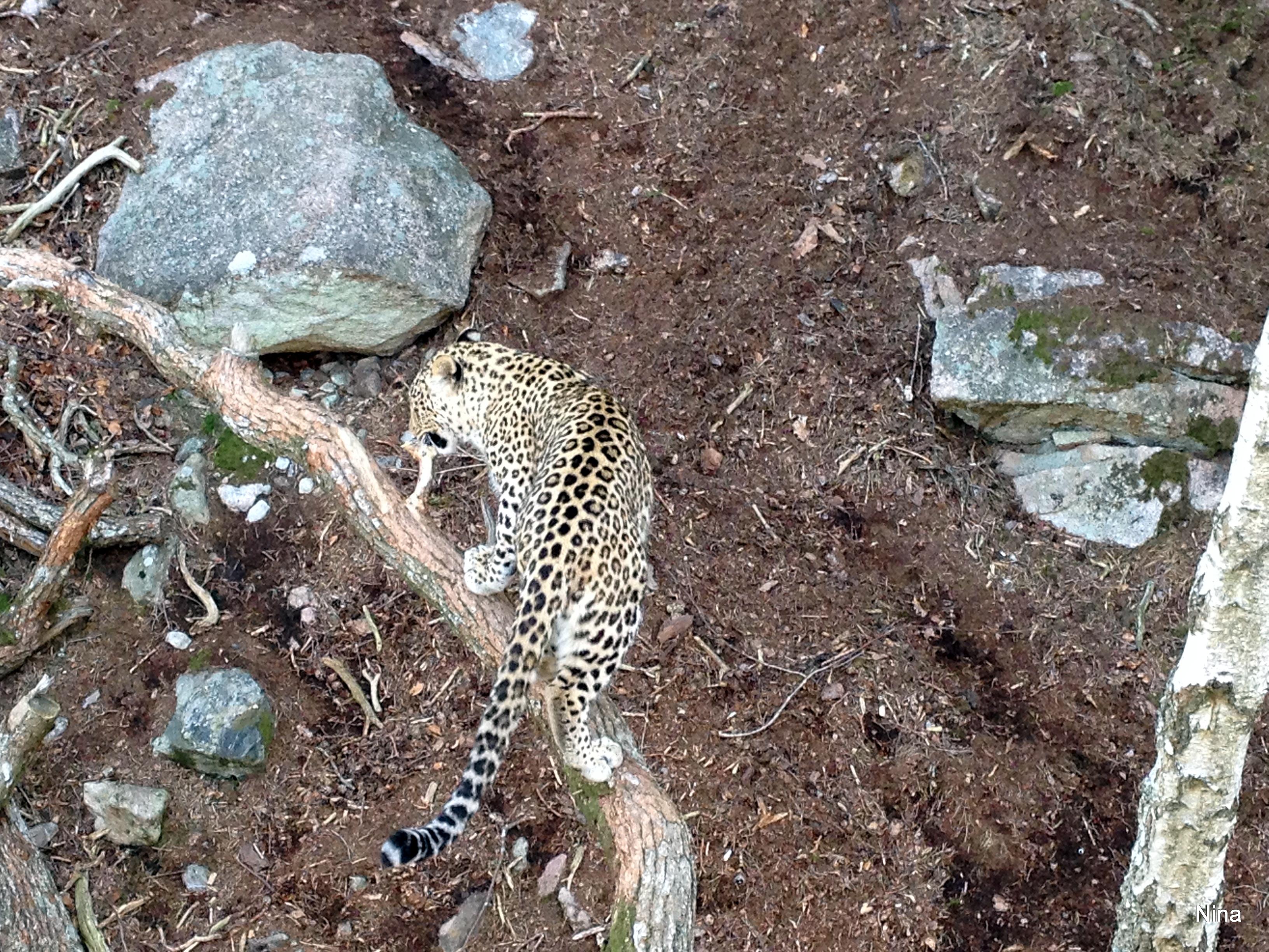 Persisk leopard